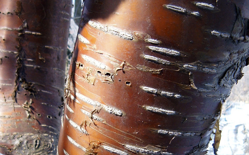 cherry tree bark. amur cherry tree bark