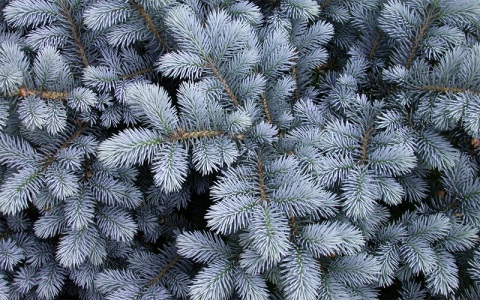 winter_bluespruce2