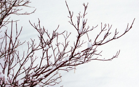 winter_dogwood2