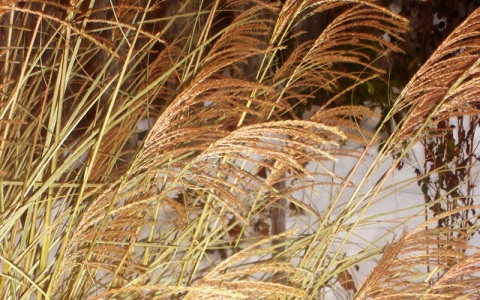 winter_miscanthus1