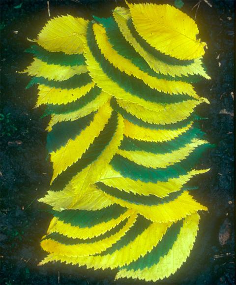 ag_leaves2